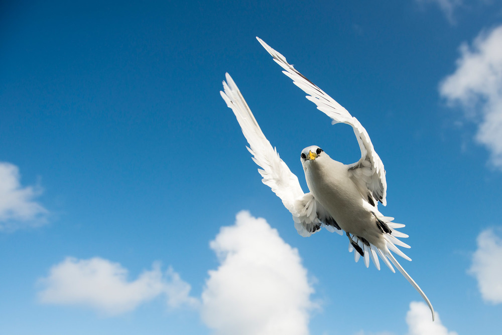 White-tailed tropicbird in flight, Cousin Island Special Reserve, Seychelles