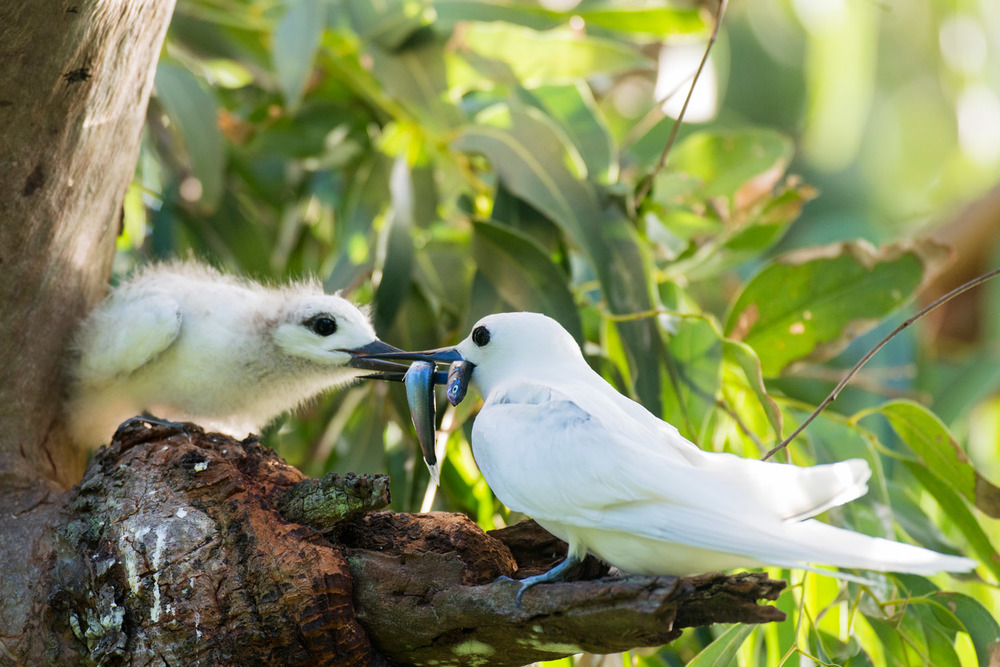 Fairy tern feeding fish to chick, Cousin Island Special Reserve, Seychelles