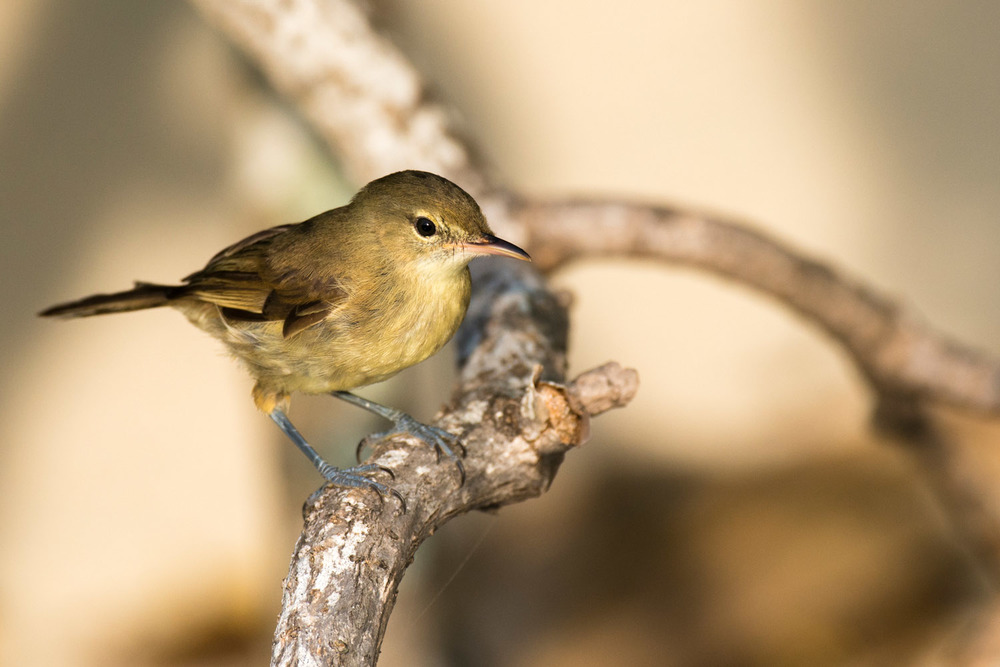 Seychelles warbler, Cousin Island Special Reserve, Seychelles