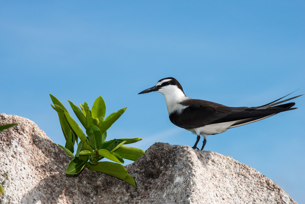 Bridled tern on granite boulder, Cousin Island Special Reserve, Seychelles