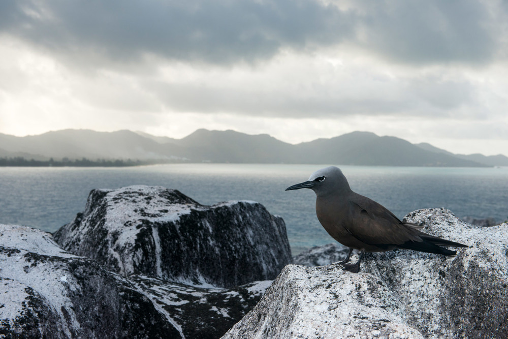 Brown noddy resting on granite boulder, Cousin Island Special Reserve, Seychelles