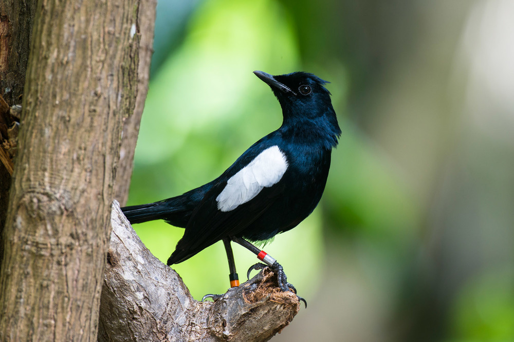 Seychelles magpie-robin, Cousin Island Special Reserve, Seychelles