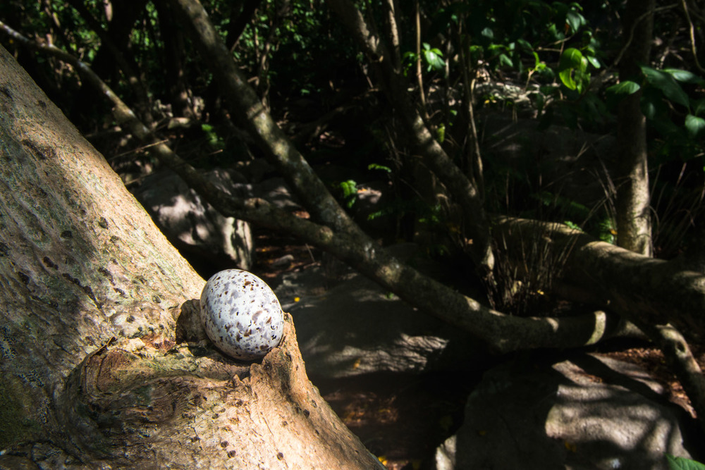 Fairy tern egg balancing in pisonia tree, Cousin Island Special Reserve, Seychelles