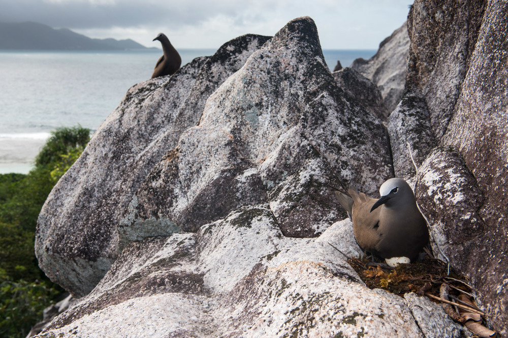 Brown noddy with egg on granite ledge, Cousin Island Special Reserve, Seychelles