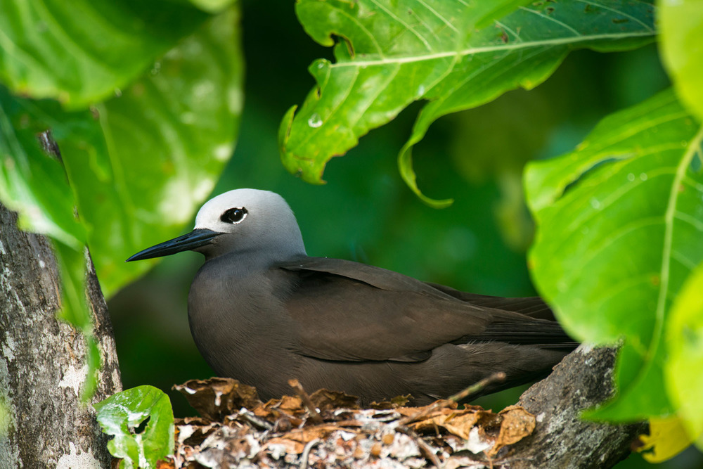 Lesser noddy nesting in pisonia tree, Cousin Island Special Reserve, Seychelles
