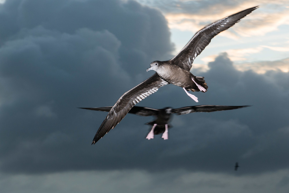 Wedge-tailed shearwaters in flight at twilight, Cousin Island Special Reserve, Seychelles