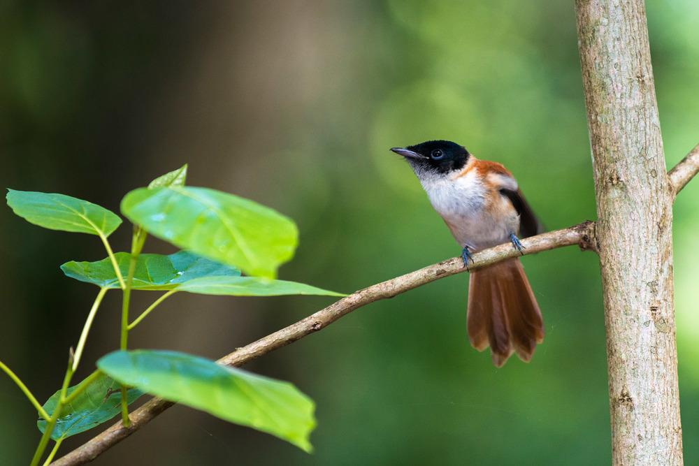 Seychelles paradise-flycatcher, Veuve Special Reserve, La Digue, Seychelles