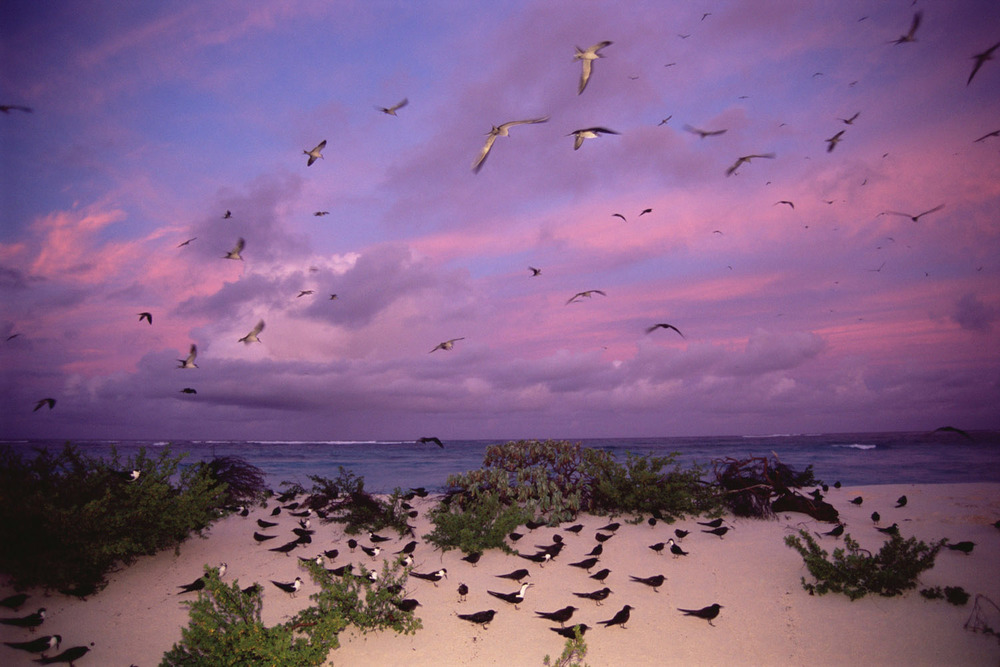 Sooty tern colony at twilight, Bird Island, Seychelles