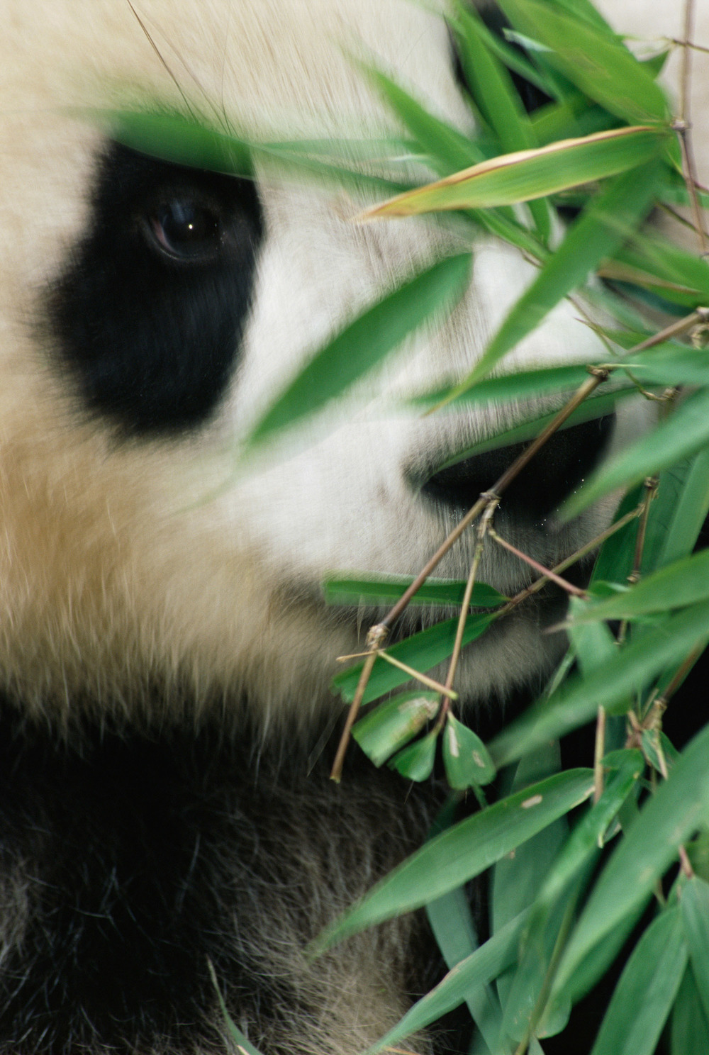 Giant panda with bamboo portrait (captive), Wolong National Nature Reserve, Sichuan, China
