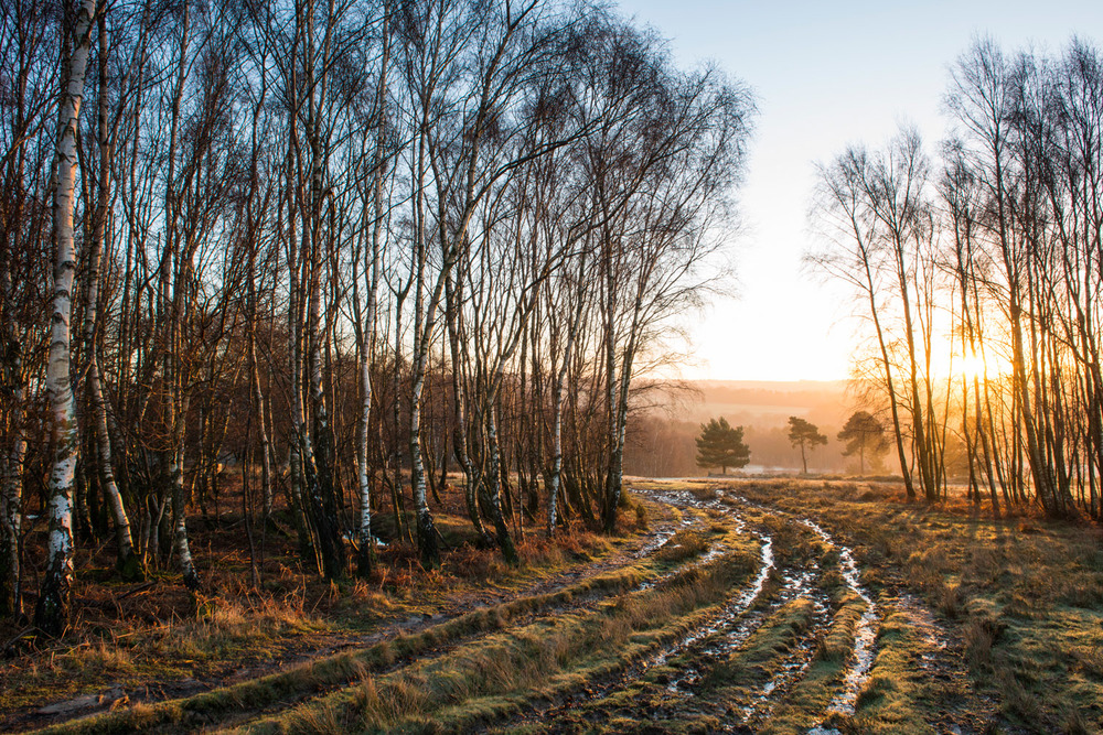Wintery track through silver birches leading to Scots pines, Ashdown Forest, Sussex Weald, England