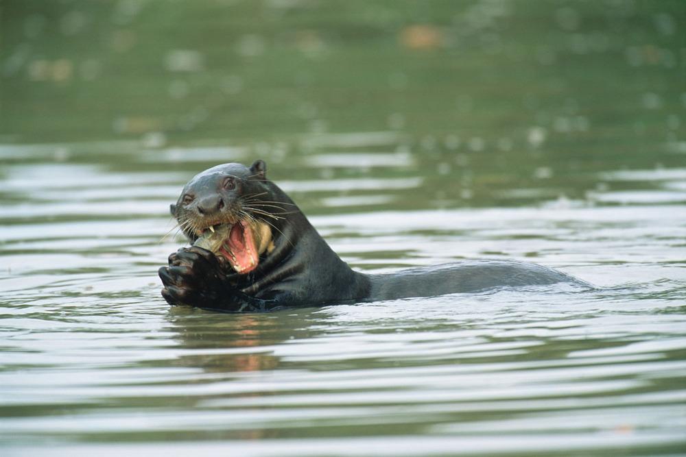 Giant otter eating fish, Pantanal, Mato Grosso, Brazil