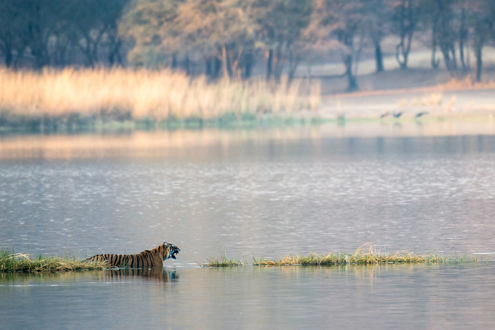 Bengal tigress in Lake Rajbagh, Ranthambhore National Park, Rajasthan, India