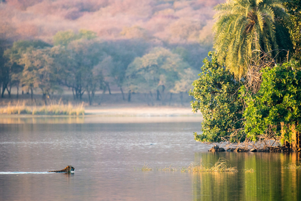 Bengal tigress swimming across Lake Rajbagh, Ranthambhore National Park, Rajasthan, India