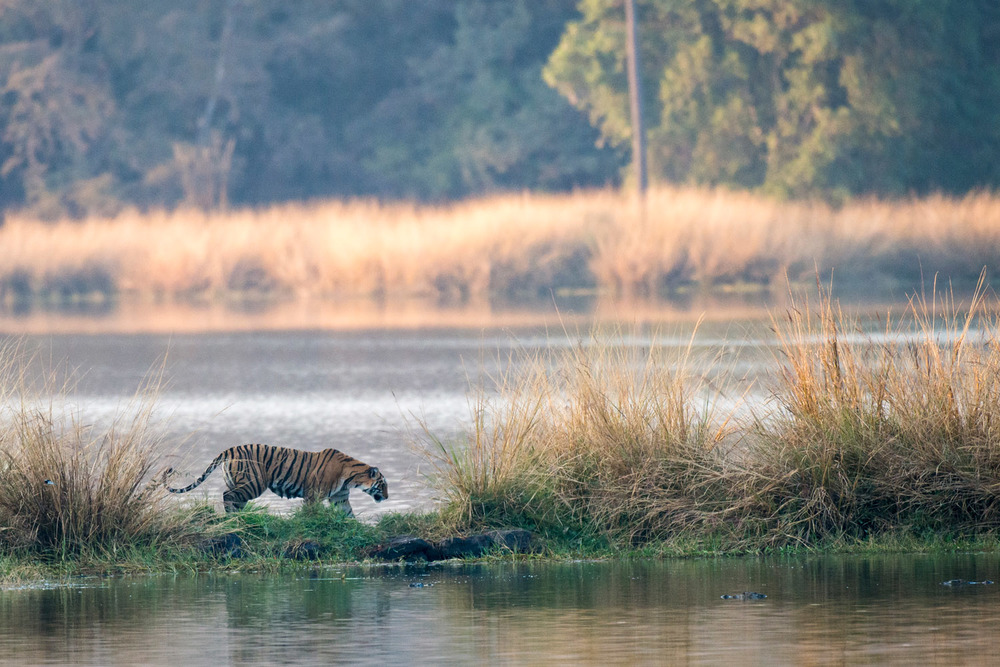 Bengal tigress on island in Lake Rajbagh, Ranthambhore National Park, Rajasthan, India