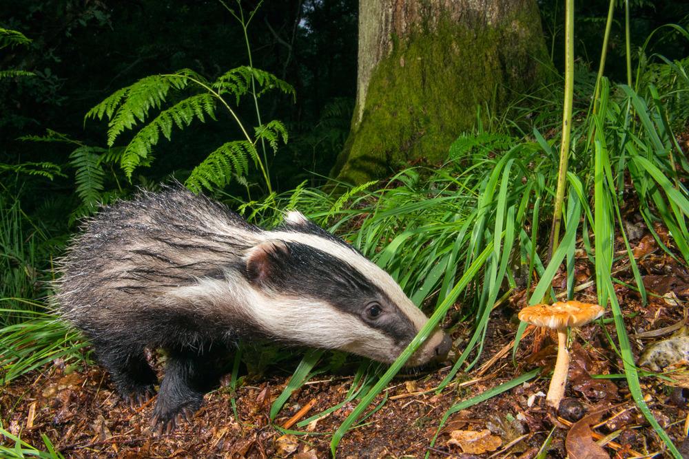 European badger cub (Meles meles) and 'Orange Grisette' mushroom, Ashdown Forest, Sussex, England
