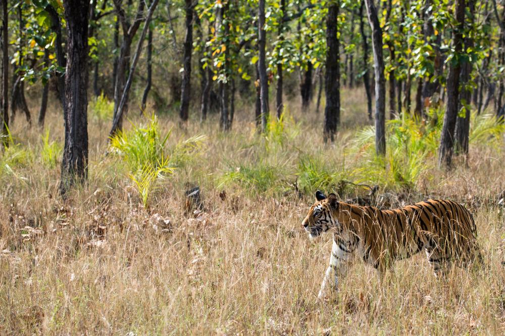 Bengal tigress on the move through sal forest, Bandhavgarh National Park, Madhya Pradesh, India