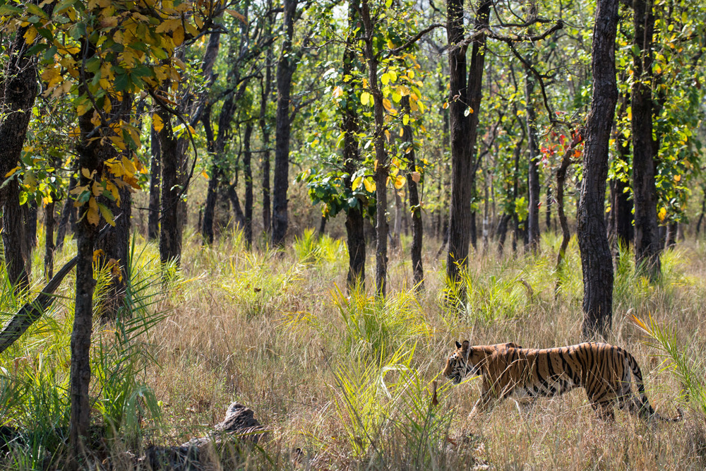 Bengal tigress on the move through sal forest, Bandhavgarh National Park, Madhya Pradesh, India