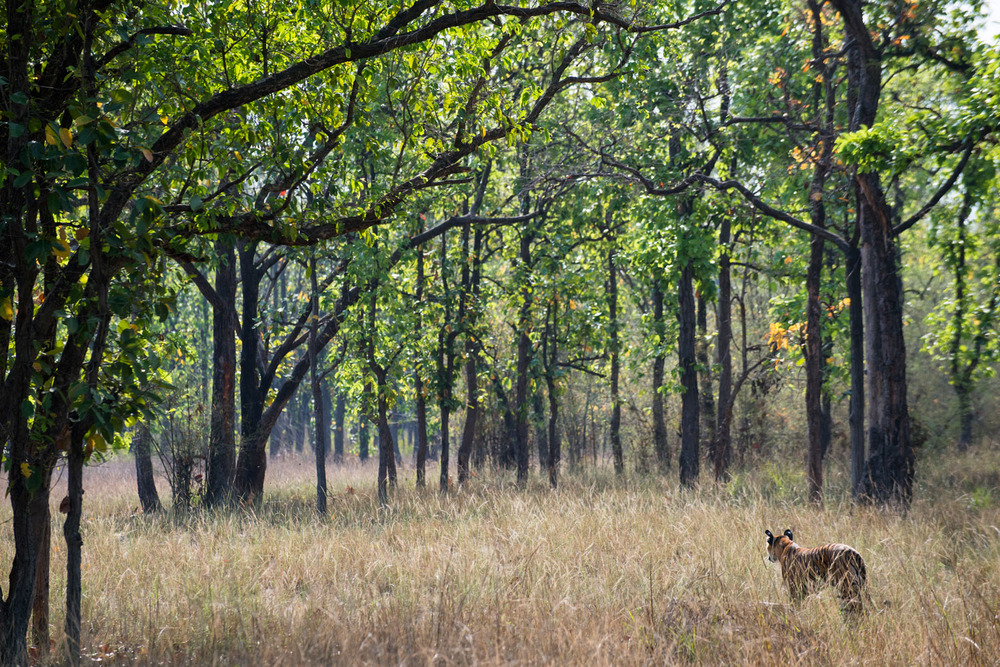 Bengal tigress in sal forest, Bandhavgarh National Park, Madhya Pradesh, India