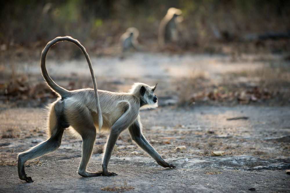 Hanuman langur monkey on the move at dawn, Bandhavgarh National Park, Madhya Pradesh, India