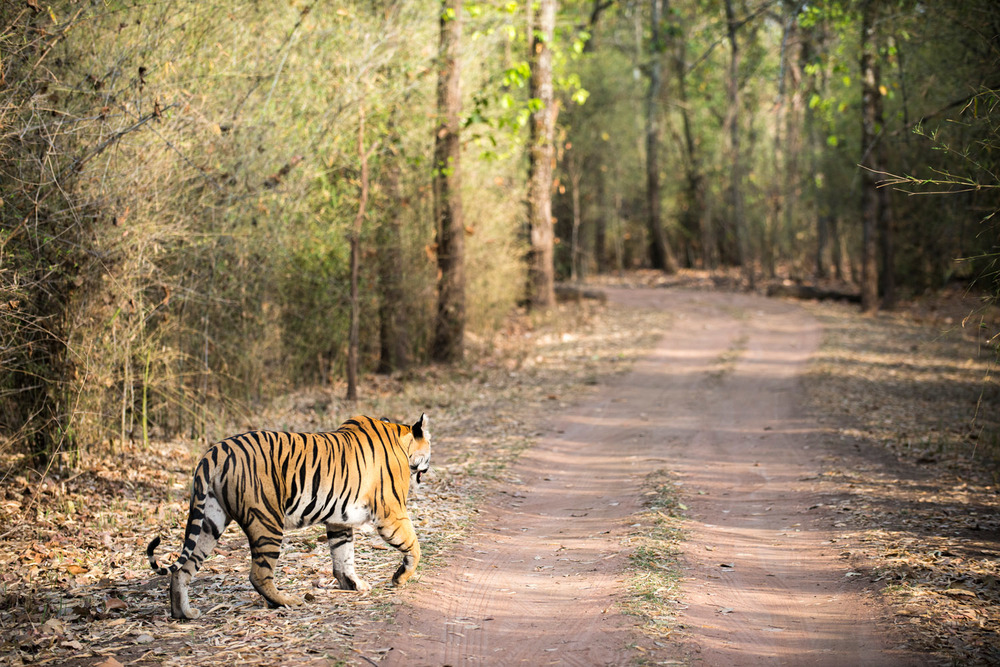 Bengal tigress crossing sal forest track, Bandhavgarh National Park, Madhya Pradesh, India