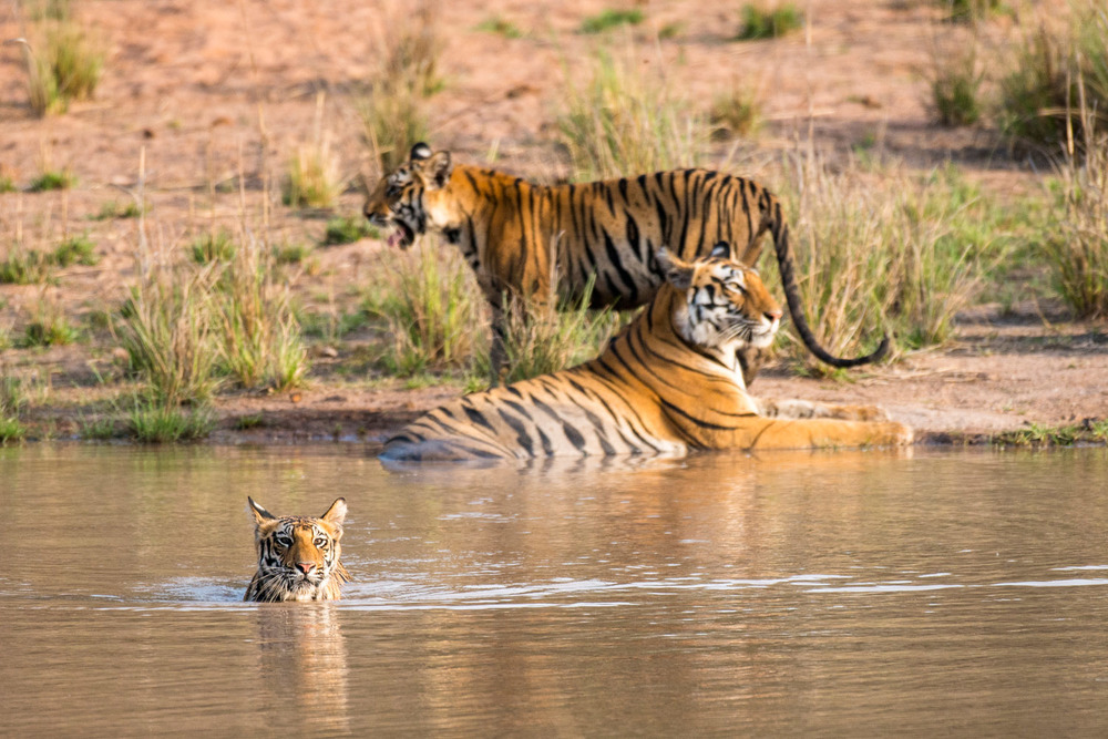 Bengal tiger cub in pool with mother and sibling at edge, Bandhavgarh National Park, Madhya Pradesh, India