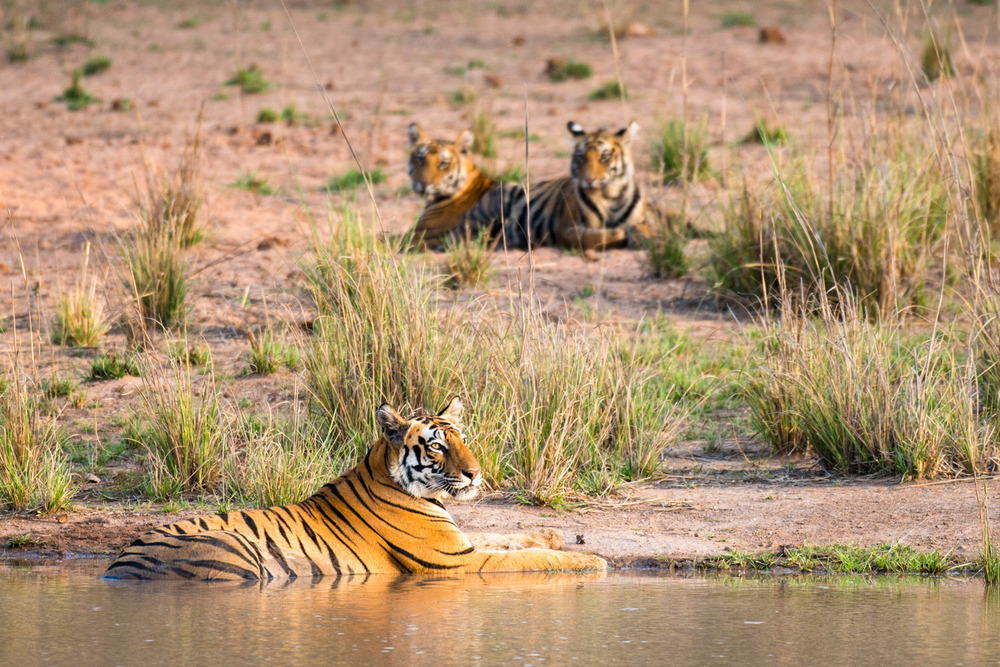 Bengal tigress resting at edge of pool with cubs in background, Bandhavgarh National Park, Madhya Pradesh, India