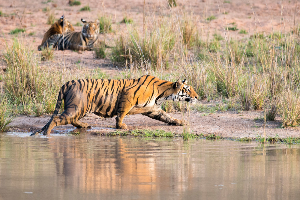 Bengal tigress stalking prey (Indian wild boar) at edge of pool with cubs in background, Bandhavgarh National Park, Madhya Pradesh, India