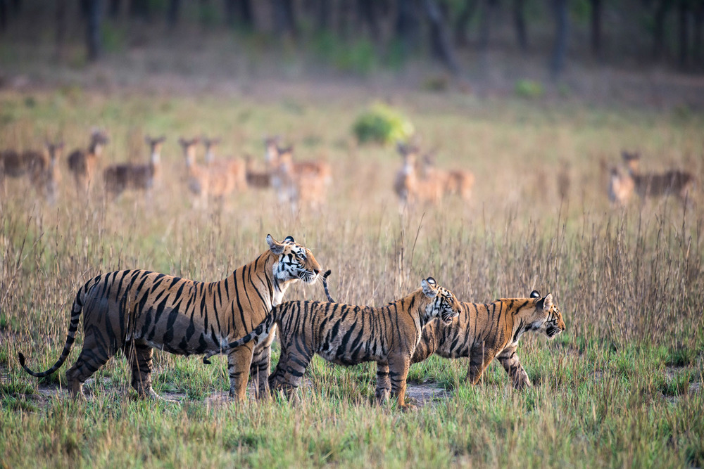 Bengal tiger mother with cubs being watched by chital/spotted deer in meadow, Bandhavgarh National Park, Madhya Pradesh, India