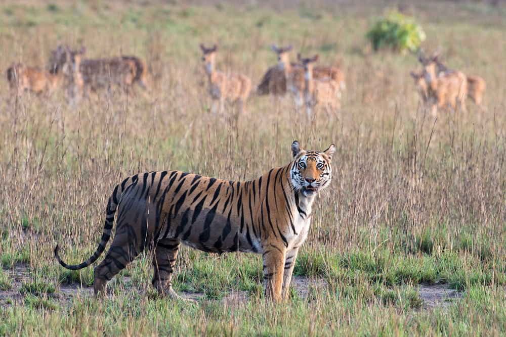 Bengal tigress being watched by chital/spotted deer in meadow, Bandhavgarh National Park, Madhya Pradesh, India