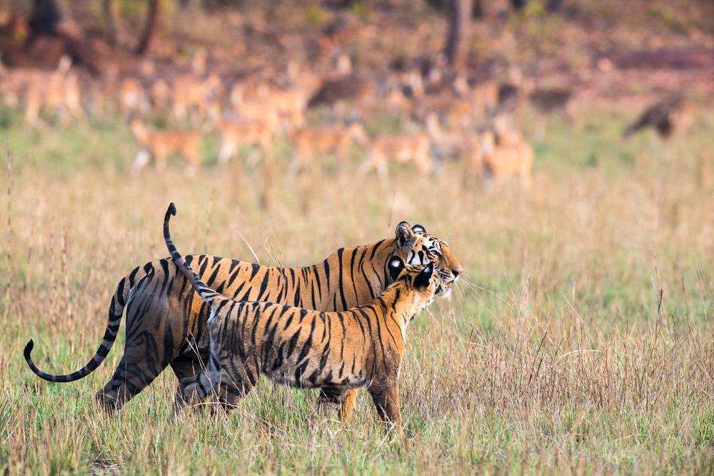 Bengal tiger mother and cub being watched by chital/spotted deer in meadow, Bandhavgarh National Park, Madhya Pradesh, India