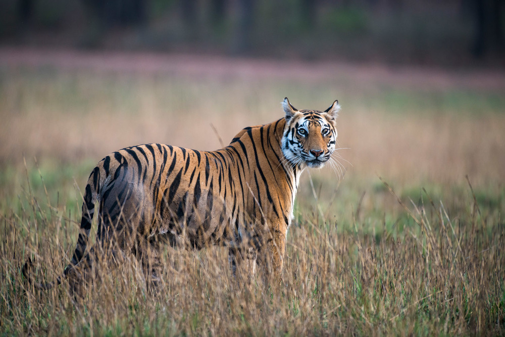 Bengal tigress in meadow, Bandhavgarh National Park, Madhya Pradesh, India
