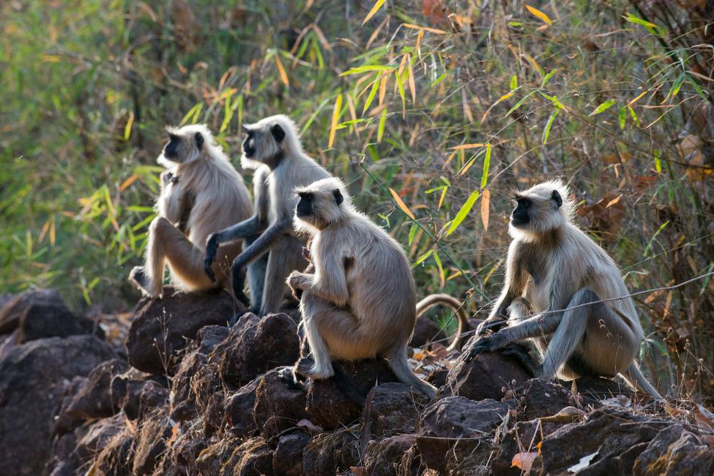 Hanuman langur monkeys sunbathing on stone wall at dawn, Bandhavgarh National Park, Madhya Pradesh, India