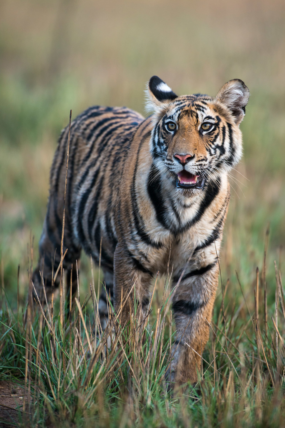 Bengal tiger cub, Bandhavgarh National Park, Madhya Pradesh, India