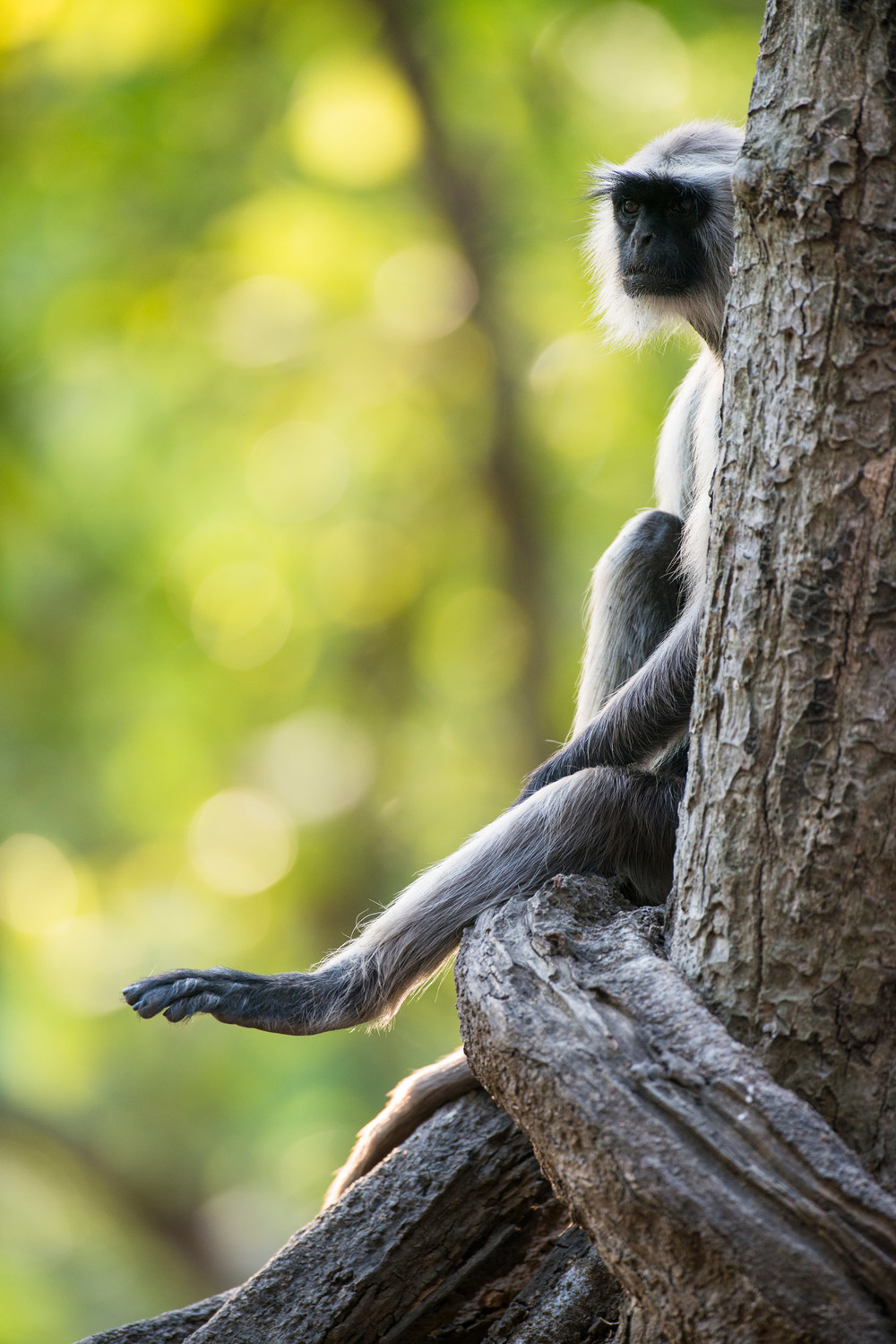 Hanuman langur monkey portrait, Bandhavgarh National Park, Madhya Pradesh, India
