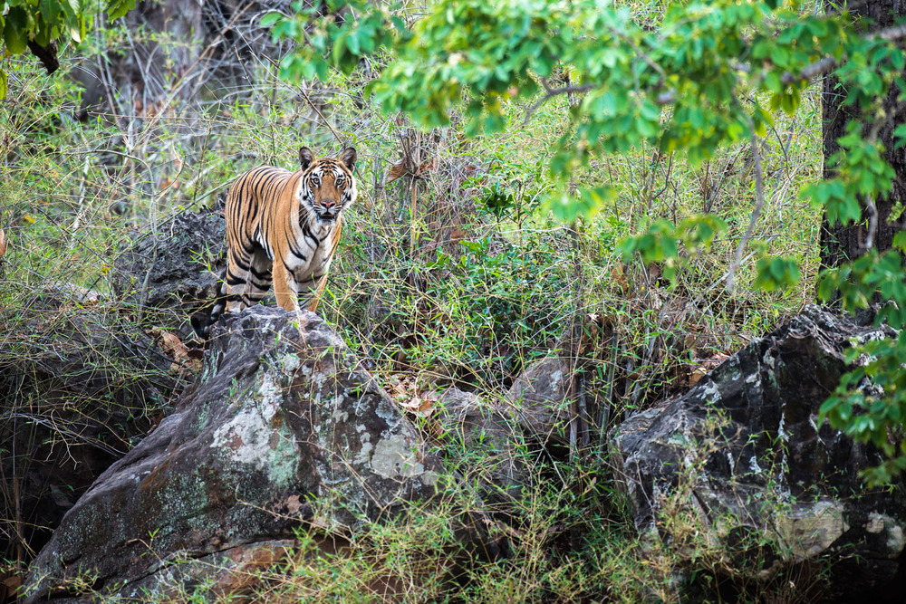 Bengal tigress on rocks in sal forest, Bandhavgarh National Park, Madhya Pradesh, India