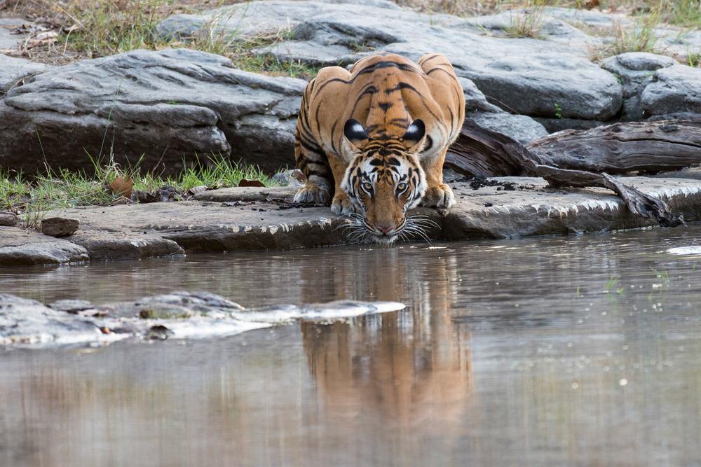 Bengal tigress at edge of pool preparing to drink, Bandhavgarh National Park, Madhya Pradesh, India