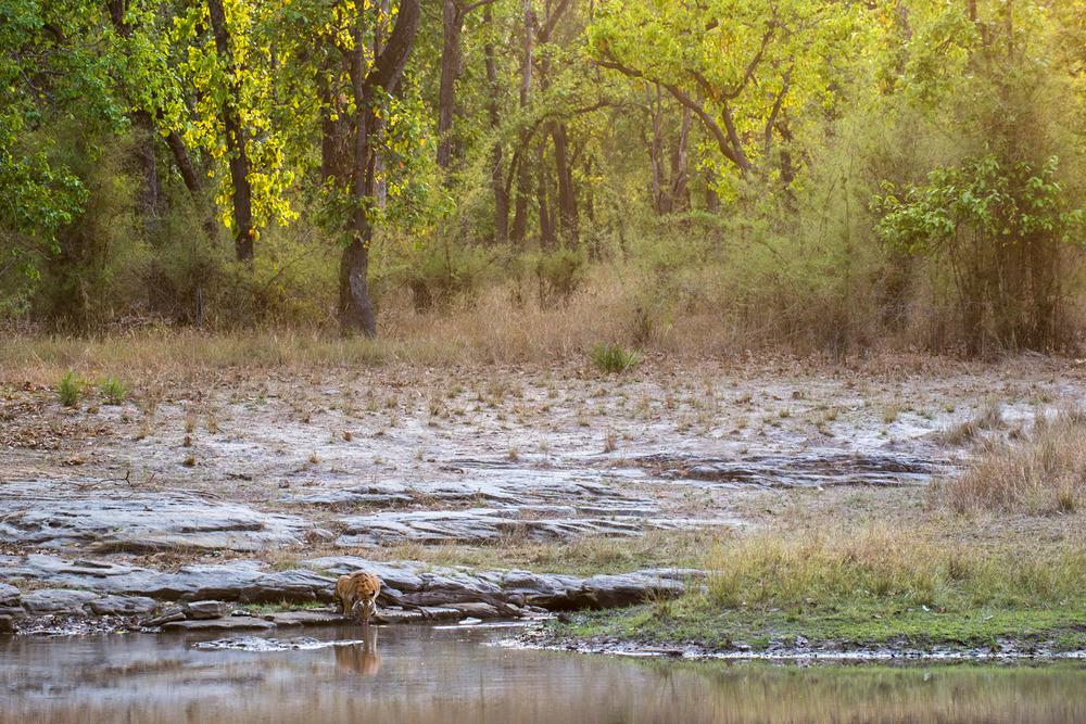 Bengal tigress drinking at edge of pool by sal forest, Bandhavgarh National Park, Madhya Pradesh, India