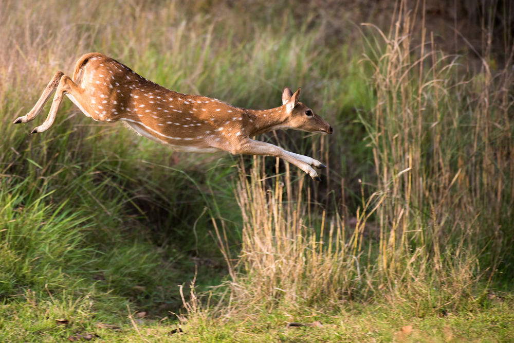 Chital/spotted deer leaping over ditch, Bandhavgarh National Park, Madhya Pradesh, India