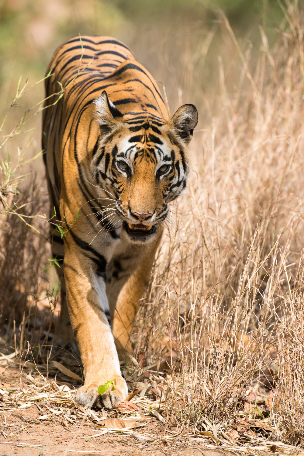 Bengal tigress approaching, Bandhavgarh National Park, Madhya Pradesh, India