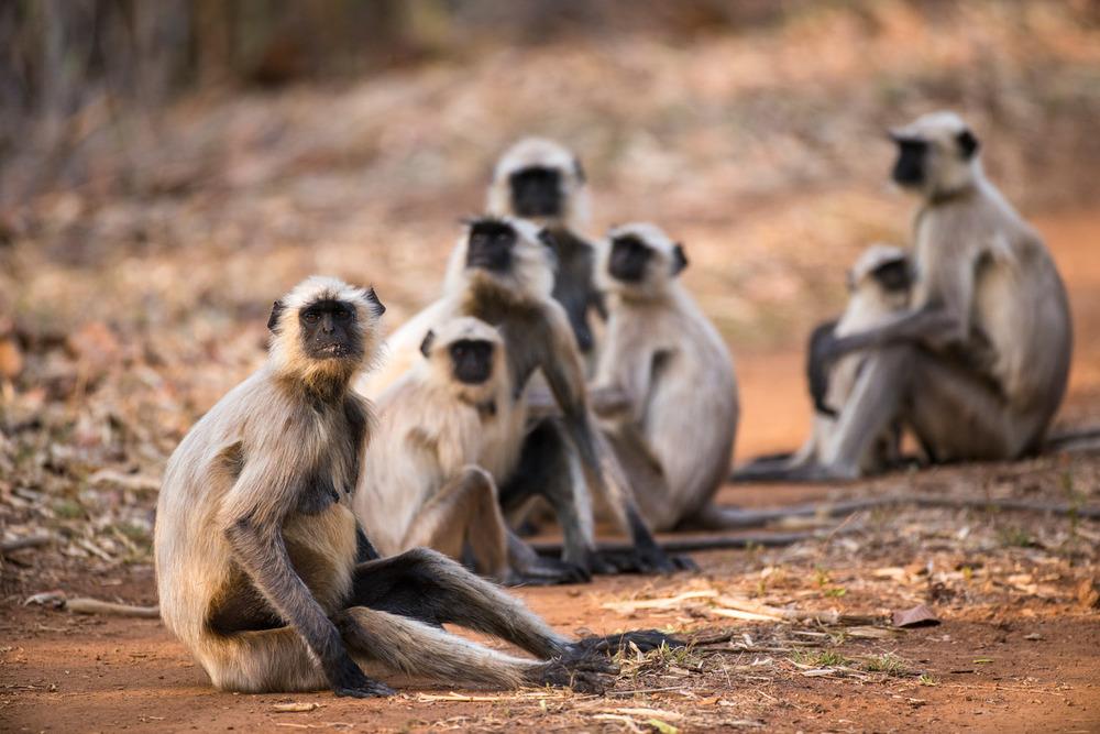 Hanuman langur monkey family resting on forest track, Bandhavgarh National Park, Madhya Pradesh, India