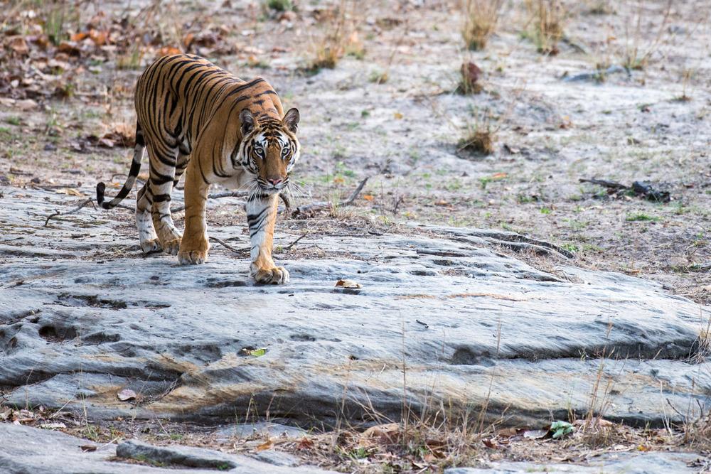 Bengal tigress walking over rocky ground, Bandhavgarh National Park, Madhya Pradesh, India