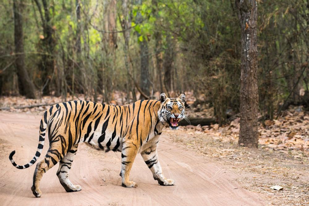 Bengal tigress crossing track in sal forest, Bandhavgarh National Park, Madhya Pradesh, India