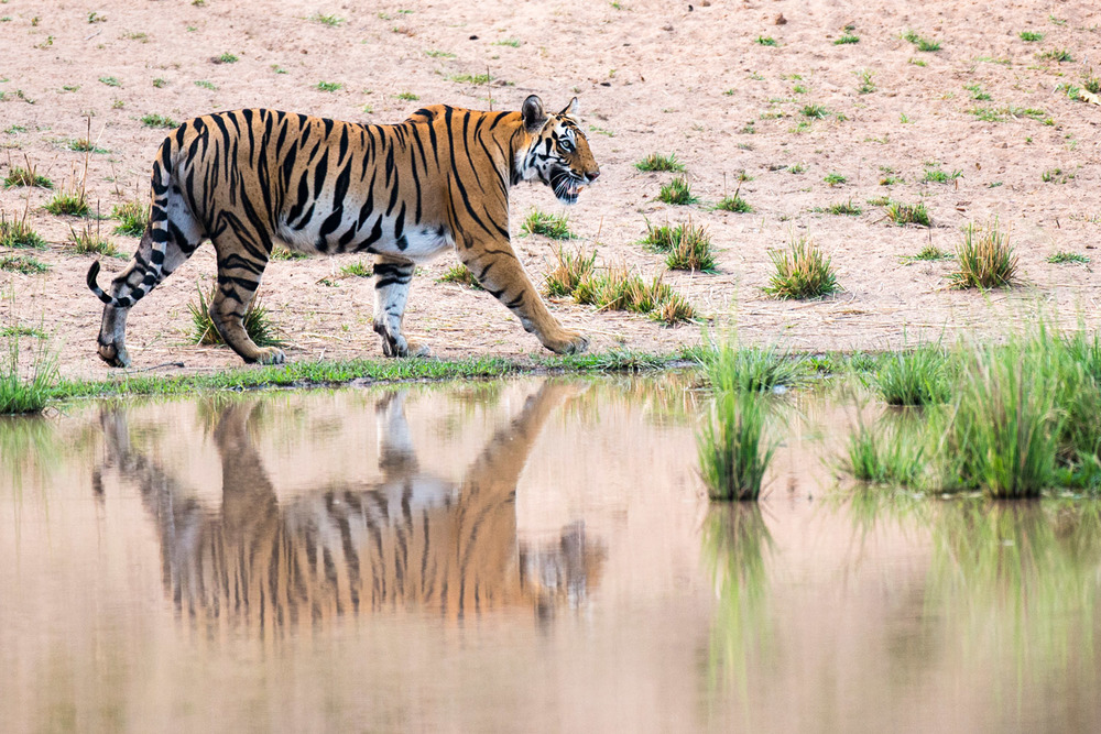 Bengal tigress walking along edge of pool, Bandhavgarh National Park, Madhya Pradesh, India