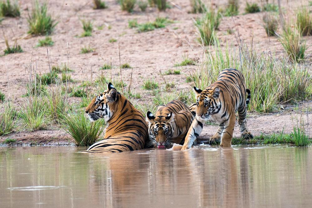 Bengal tiger mother with cubs at edge of pool, Bandhavgarh National Park, Madhya Pradesh, India