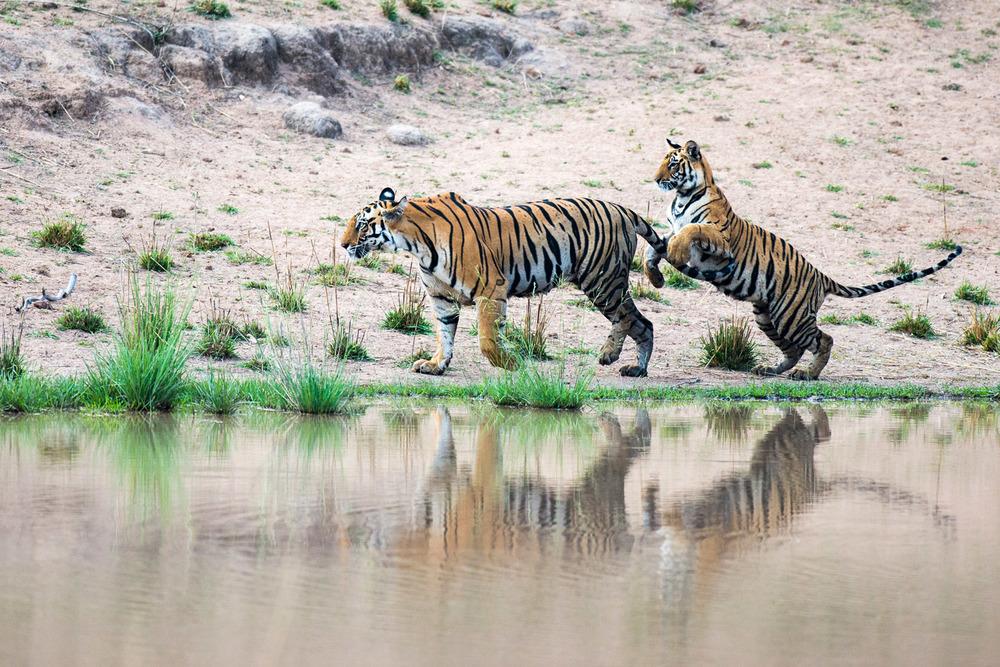 Bengal tiger cub playing with mother at edge of pool, , Bandhavgarh National Park, Madhya Pradesh, India
