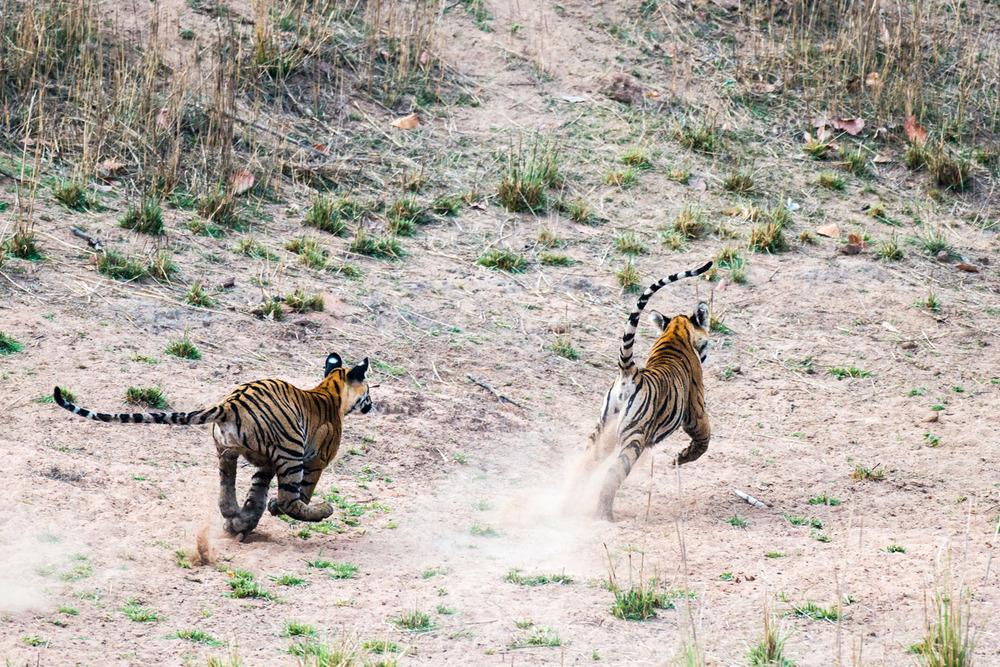 Bengal tiger cubs chasing each other, Bandhavgarh National Park, Madhya Pradesh, India