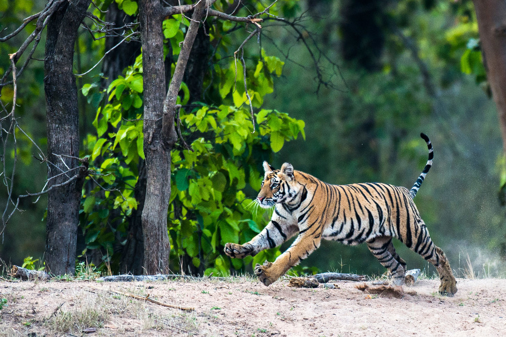 Bengal tiger cub running at edge of sal forest, Bandhavgarh National Park, Madhya Pradesh, India