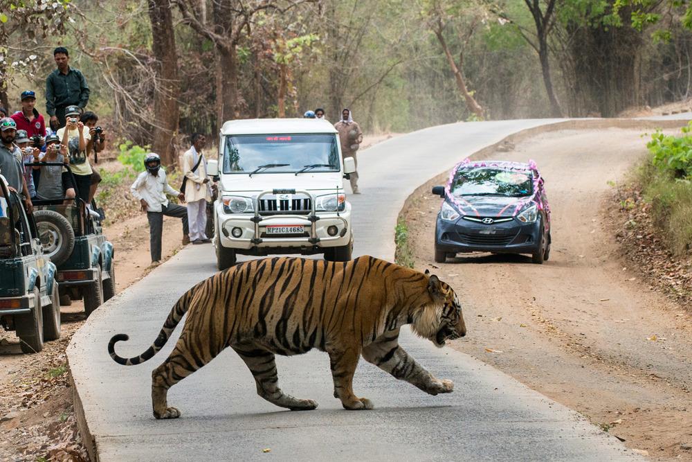 Bengal tiger crossing main road through tiger reserve, Bandhavgarh National Park, Madhya Pradesh, India