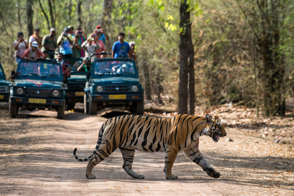 Tourists in jeeps watching Bengal tigress cross sal forest track, Bandhavgarh National Park, Madhya Pradesh, India