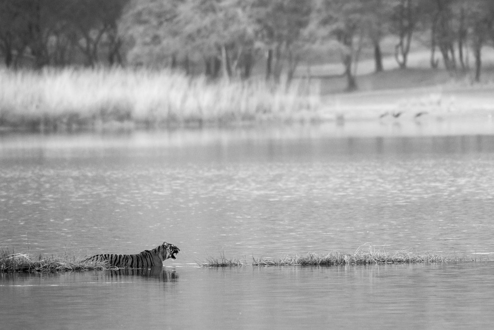 Bengal tigress in Lake Rajbagh, Ranthambhore National Park, Rajasthan, India